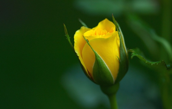 Picture BACKGROUND, PETALS, GREEN, YELLOW, MACRO, ROSE, BUD