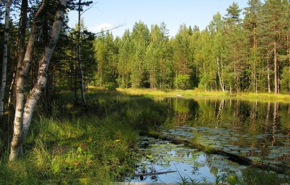 Picture forest, summer, the sky, grass, trees, river, birch