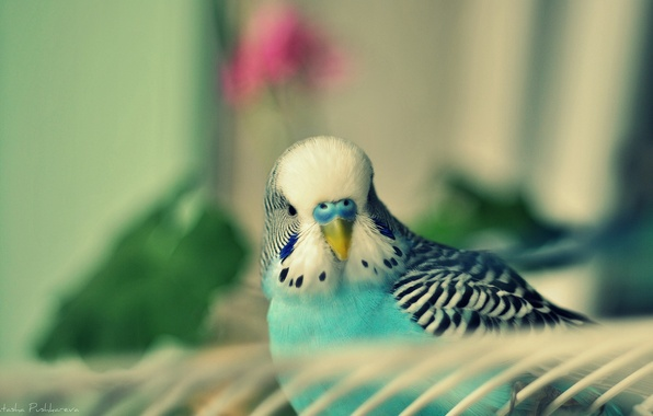 Picture bird, parrot, bird, turquoise, chick, wavy