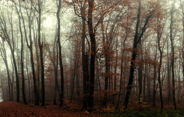Picture forest, trees, fog, trail, Autumn, forest, trees, autumn, fog