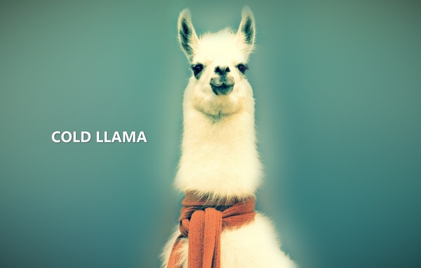 Picture background, animal, blue, the inscription, eyes, wool, scarf, Lama