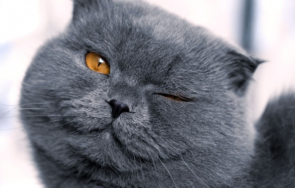 Picture face, grey, Cat