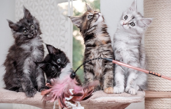 Picture kittens, Quartet, Maine Coon
