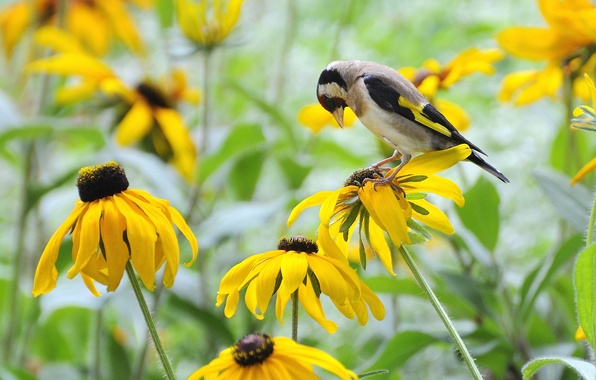 Picture field, flowers, bird, yellow, goldfinch, rudbeckia