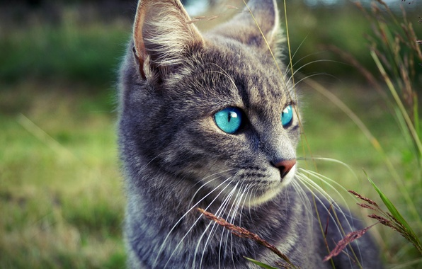 Picture grass, eyes, look, face, nature, grey, Cat