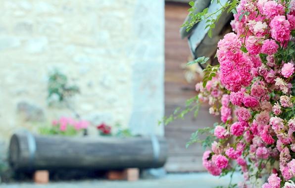Picture flowers, rose, Bush, pink, log, flowerbed, tea
