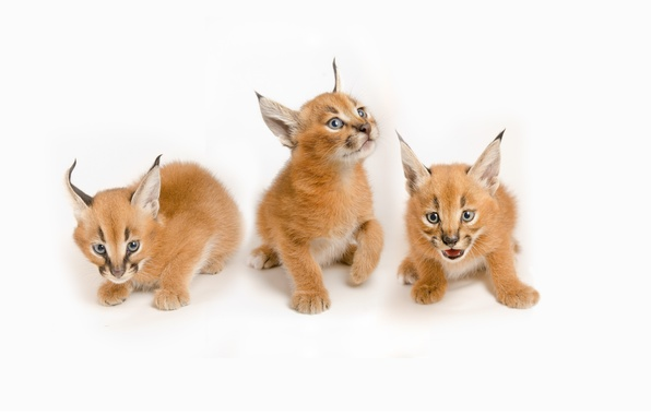 Picture family, kittens, white background, kids, wild cats, trio, cubs, caracals, steppe lynx