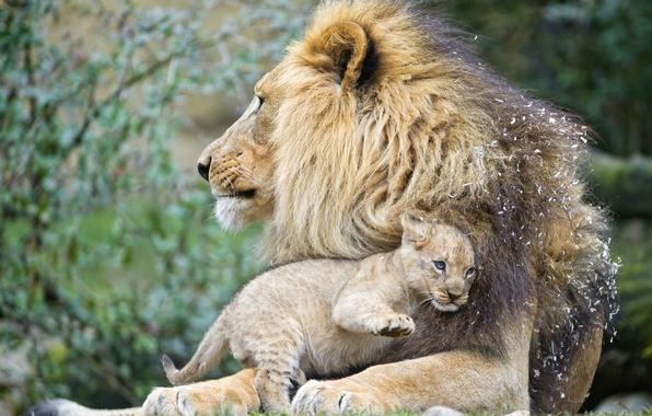 Picture cat, Leo, cub, kitty, lion, ©Tambako The Jaguar