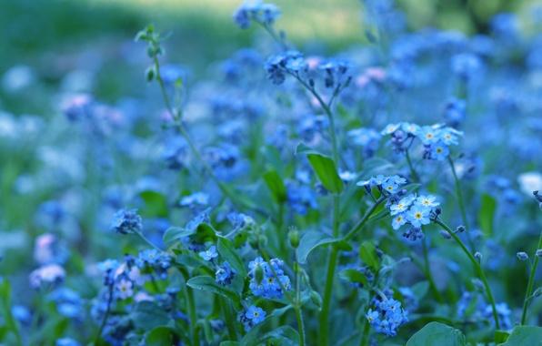 Picture greens, macro, flowers, nature, color, plants, blur, blue, blue, brightness, forget-me-nots