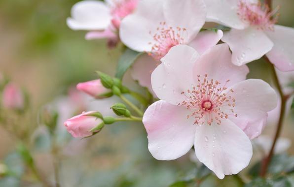 Picture drops, macro, pink, tenderness, briar