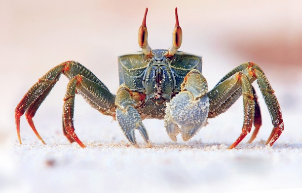 Picture sand, sea, eyes, the ocean, crab, claw, armor