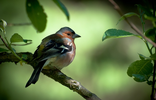Picture leaves, tree, bird, branch, Chaffinch