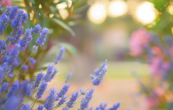 Picture flowers, glare, lavender, Golubye