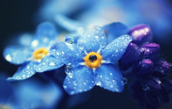 Picture drops, macro, flowers, petals, blue, Forget-me-nots