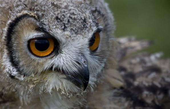 Picture eyes, look, owl, bird, head, beak