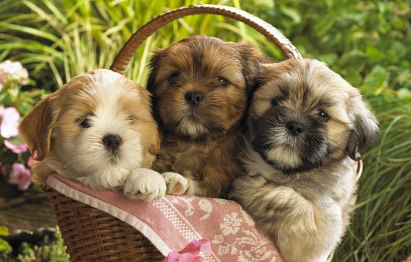 Picture dogs, puppies, kids, basket