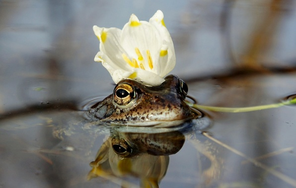 Picture flower, water, crown, the frog Princess