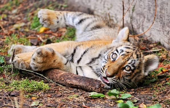 Picture cat, look, tiger, cub, tiger, stick, Amur, ©Tambako The Jaguar