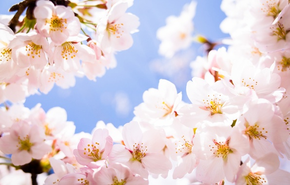 Picture flowers, cherry, branch, spring, petals, Sakura, flowering