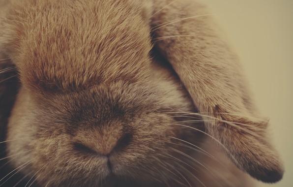 Picture animal, wool, rabbit