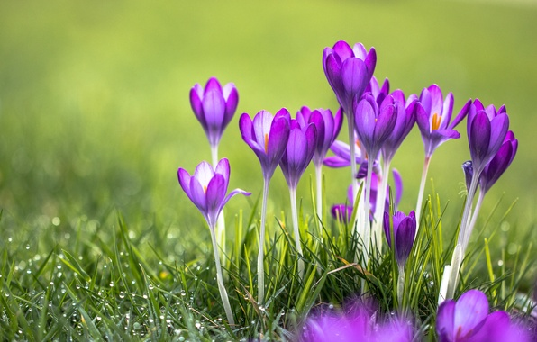 Picture grass, flowers, Rosa, purple, crocuses
