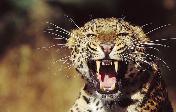 Picture look, face, Leopard, grin, the threat, mustache beam, razyarenny wild cat
