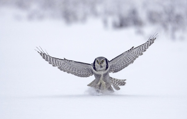 Picture winter, snow, animal, bird, flight, Falcon, bird, flight, winter, snow, animal, 1920x1080, falcon