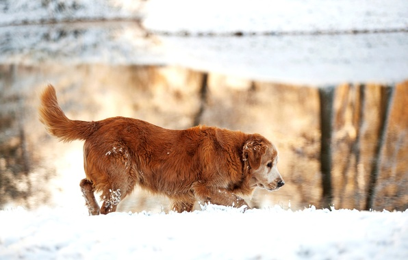 Picture winter, snow, nature, lake, dog, Golden, Retriever