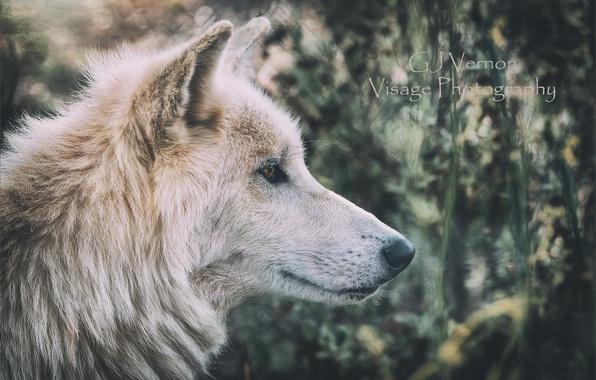 Picture nature, wolf, GJ-Vernon