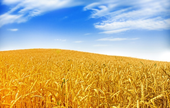 Picture field, the sky, clouds, blue, yellow, ears, Sunny