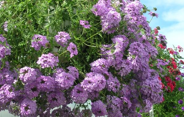 Picture photo, Flowers, Purple, Closeup, Verbena