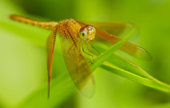 Picture grass, nature, wings, dragonfly, insect