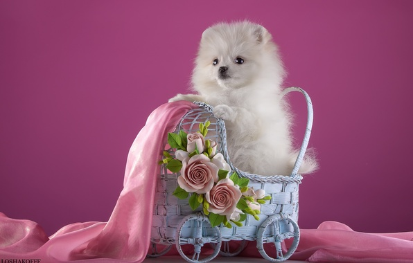 Picture white, flowers, stroller, puppy, fabric, Spitz