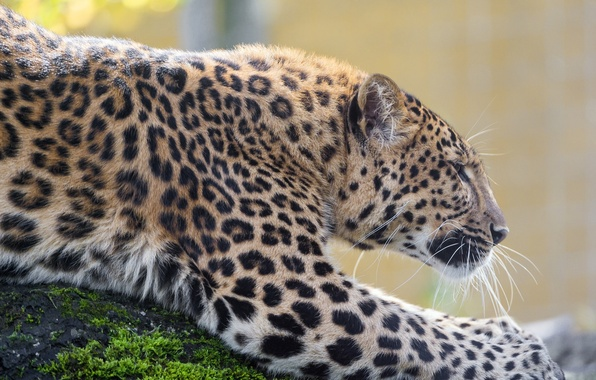 Picture predator, spot, leopard, profile, wild cat, zoo