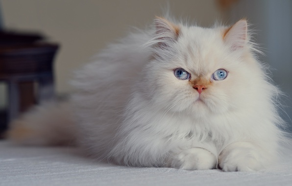Picture look, blue eyes, fluffy, Persian cat