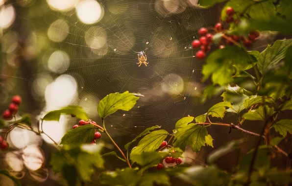 Picture summer, web, spider, berry, Kalina, August