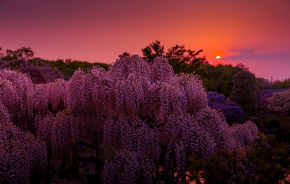 Picture the sun, flowers, nature, heat, the evening, Wisteria, Wisteria
