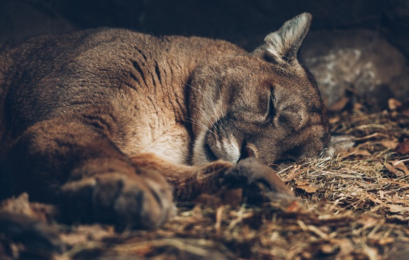 Picture cat, stay, Puma, mountain lion, Cougar