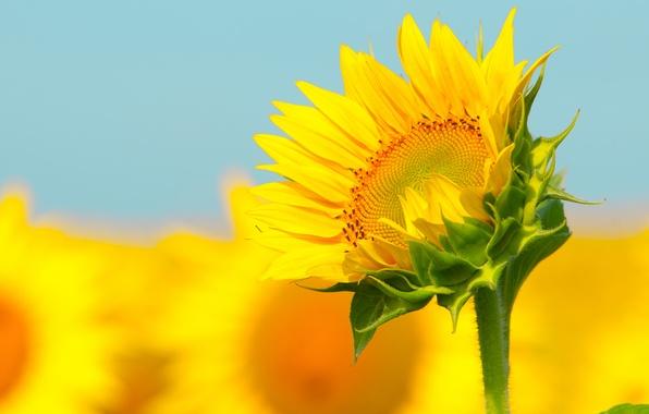 Picture sunflower, stem, bokeh
