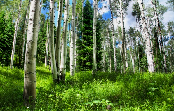 Picture forest, the sky, grass, nature, spruce, Russia, breezy