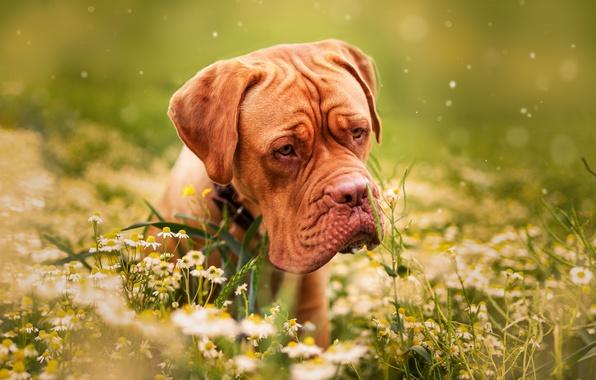 Picture grass, flowers, nature, animal, chamomile, dog, dog, dog, Dogue de Bordeaux