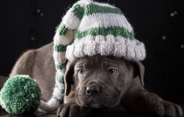Picture hat, cute, puppy, breed, cane Corso