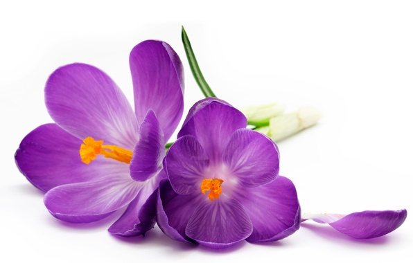 Picture petal, purple, crocuses, white background