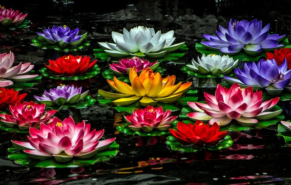 Picture Lily, colorful, water lilies