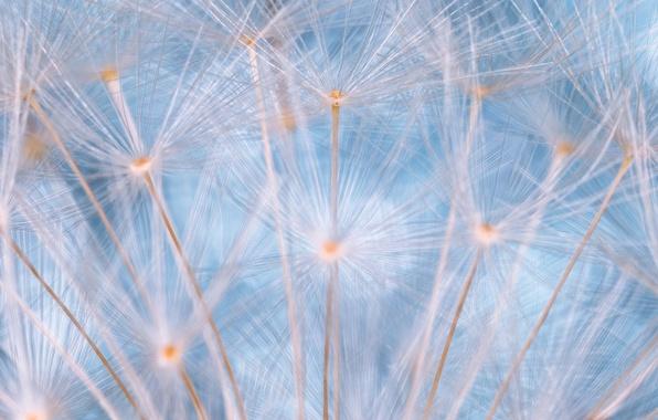 Picture macro, dandelion, fuzzes