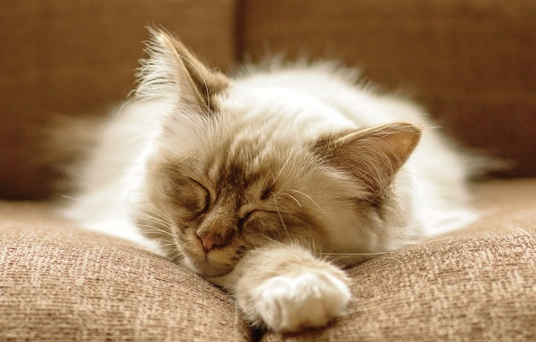 Picture cat, cat, kitty, sofa, fluffy, sleeping