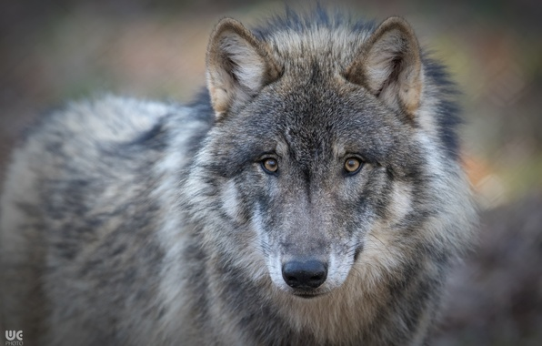 Picture look, face, wolf, predator