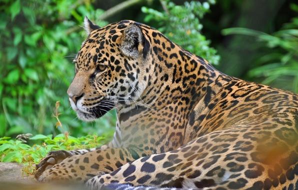 Picture face, predator, Jaguar, wild cat, panthera onca