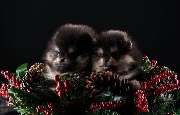 Picture new year, puppies, two, Duo, decor, Spitz
