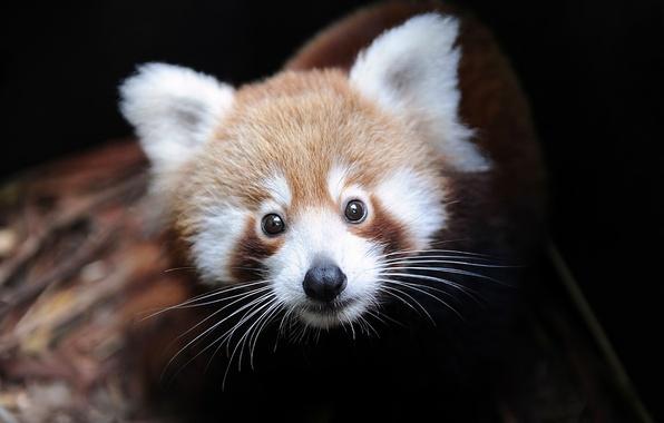 Picture firefox, red Panda, Ailurus fulgens